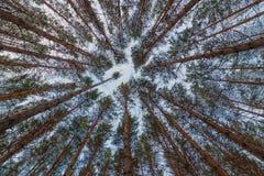 Ideia das partes superiores dos pinheiros na floresta do inverno da terra Fundo largo do ângulo da vista inferior imagem de stock royalty free