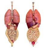 Ideia de órgãos internos Fotografia de Stock