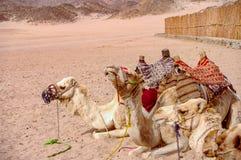 Ideia de descansar camelos backpacked no deserto de Sahara do egípcio em s fotografia de stock
