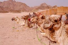Ideia de descansar camelos backpacked no deserto de Sahara do egípcio em s imagem de stock