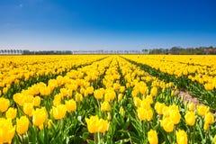 Ideia de fileiras amarelas da tulipa nas horas de verão Foto de Stock Royalty Free