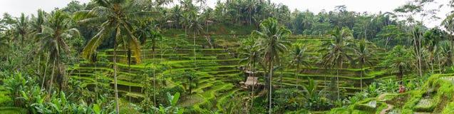 Ideia de Panaromic de campos do terraço do arroz de Tegallalang - Ubud - Bali - Indonésia foto de stock