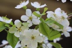Ideia de um grande ramo com as flores da cereja Flores brancas bonitas, efeito do borr?o imagem de stock