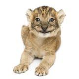 Ideia dianteira de um encontro feliz do filhote de leão, 16 dias velho, isolado Fotos de Stock Royalty Free
