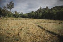 Ideia do campo cortado do arroz após a colheita para o fundo fotografia de stock royalty free