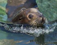 Ideia do close up da natação do leão de mar imagens de stock royalty free