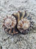 Ideia do close-up de dois shell da pústula do relâmpago Imagem de Stock