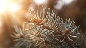 Ideia do close-up de ramos Spruce com raios dourados de Sun Fotografia de Stock