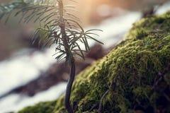 Ideia do close-up de ramos Spruce com Sun dourado Imagens de Stock Royalty Free