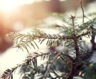 Ideia do close-up de ramos Spruce com Sun dourado Foto de Stock
