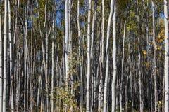 Ideia do close-up do suporte das árvores, Yukon do vidoeiro branco, Canadá Foto de Stock