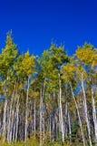 Ideia do close-up do suporte das árvores, Yukon do vidoeiro branco, Canadá com Foto de Stock