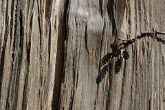 Ideia do corte da árvore em tons bege e com os três cones pequenos do pinho que penduram no corte da árvore Textura de madeira imagens de stock