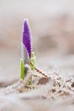 Ideia do crescimento de flor de florescência mágico do snowdrop da mola do fost Foto de Stock Royalty Free