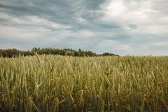 Ideia dos campos do trigo verde imagem de stock