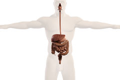 Ideia humana do raio X da anatomia do sistema digestivo, no fundo branco liso Foto de Stock