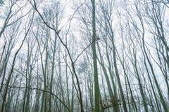 Ideia larga de partes superiores murchos da árvore Imagens de Stock Royalty Free