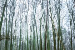 Ideia larga de partes superiores murchos da árvore Imagens de Stock