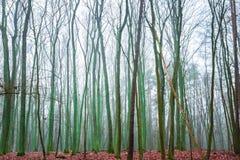 Ideia larga de partes superiores murchos da árvore Fotografia de Stock
