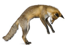 Ideia lateral de Fox vermelho, o 1 anos de idade Imagem de Stock Royalty Free