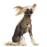 Ideia lateral de um assento com crista chinês do cão, 3 anos velho imagem de stock royalty free