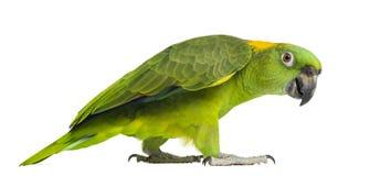 Ideia lateral de um passeio amarelo-naped do papagaio (6 anos velho) Fotografia de Stock