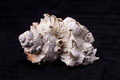 Ideia lateral do shell do búzio Imagem de Stock Royalty Free