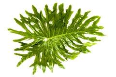 Ideia lateral esquerda de testes padrões e de texturas verdes da folha Imagem de Stock Royalty Free