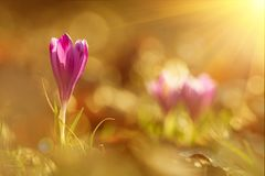 A ideia mágica da mola de florescência do close-up floresce o açafrão em luz solar surpreendente Imagem de Stock