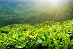 Ideia majestosa da paisagem da plantação de chá de Cameron Highlands Pahang Malaysia foto de stock