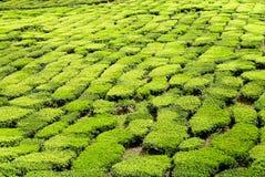 Ideia majestosa da paisagem da plantação de chá de Cameron Highlands Pahang Malaysia imagem de stock