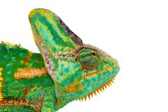 Ideia próxima de uma cabeça colorida verde bonita do calyptratus do chamaeleo que olha acima foto de stock royalty free