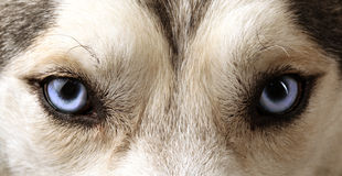 Ideia próxima dos olhos azuis de um cão de puxar trenós Fotos de Stock
