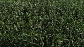 Ideia a?rea de um campo de milho verde A câmera está voando baixo sobre o campo de milho vídeos de arquivo