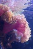 Ideia subaquática do close up de um coral da esponja do mar Foto de Stock