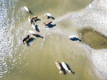 Ideia superior aérea do grupo da caminhada do rebanho de vaca no campo perto do lago no Sandy Beach f imagens de stock