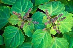 Ideia superior da florescência da planta do patchouli foto de stock royalty free
