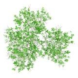 Ideia superior de florescer a árvore alaranjada isolada no branco ilustração stock