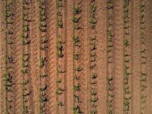 Ideia superior do campo cultivado do milho do zangão fotos de stock royalty free