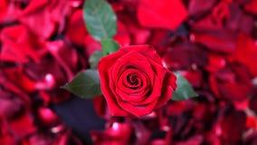Ideia superior do fim vermelho da rotação de Rose Flower acima do fundo Obscuridade bonita - close up de Rosa vermelha video estoque