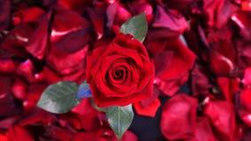 Ideia superior do fim vermelho da rotação de Rose Flower acima do fundo Obscuridade bonita - close up de Rosa vermelha vídeos de arquivo