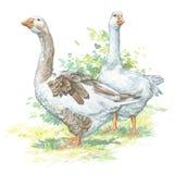 Identificação dos gansos: 52808176 Imagem de Stock