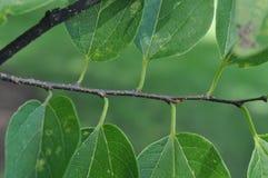 Identificación básica del árbol: Arreglo alterno de la hoja Imagen de archivo libre de regalías