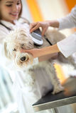 Identifying microchip implant of lost Maltese dog by veterinaria Stock Photo