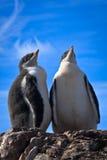 identiska pingvin två Royaltyfri Fotografi