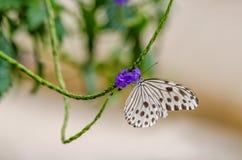 Ideopsis gaura perakana butterfly. Feeding on flower Stock Photos