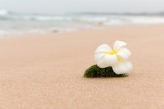 Idilio de la playa de la flor del Frangipani Foto de archivo libre de regalías