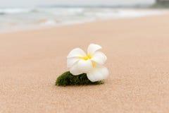Idilio orgánico de la playa de la flor del Frangipani Imagenes de archivo