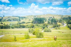 Idillic country landscape with a red cow looking straight into camera from a lush green pasture of grass royalty free stock images