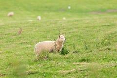 Idillic landscape with sheep, lambs, ram on field Royalty Free Stock Photos